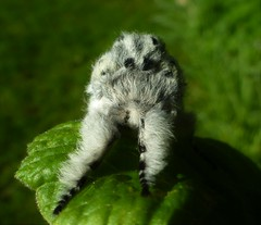 The Beautiful Puss Moth..x