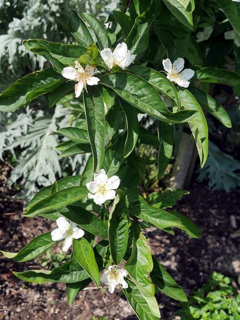 Mespilus germanica - Flowers