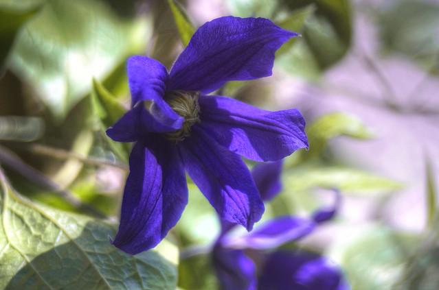 Euer Blaublüten