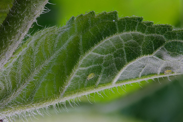 Green aphids on sunflower