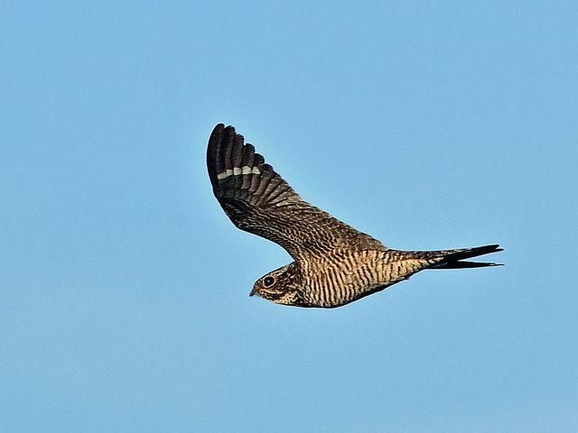 Common Nighthawk female 02-20200529