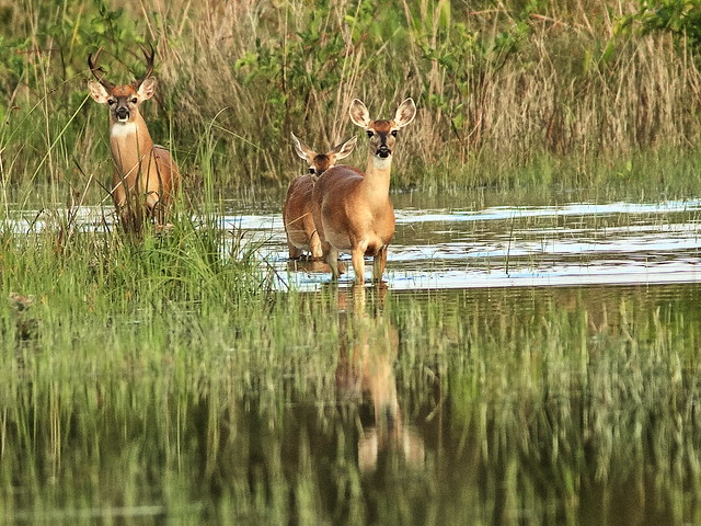 White-tail buck doe yearling 01-20200529