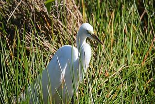 Snowy Egret at ENP