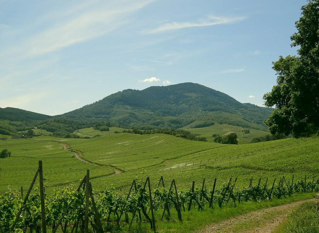 Mer de vignes vertes devant l'Ungersberg.