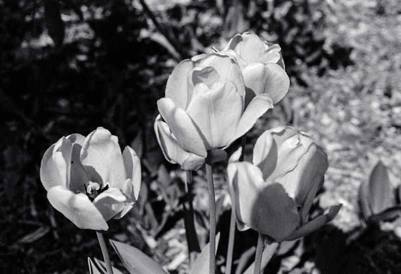 Four Tulips_
