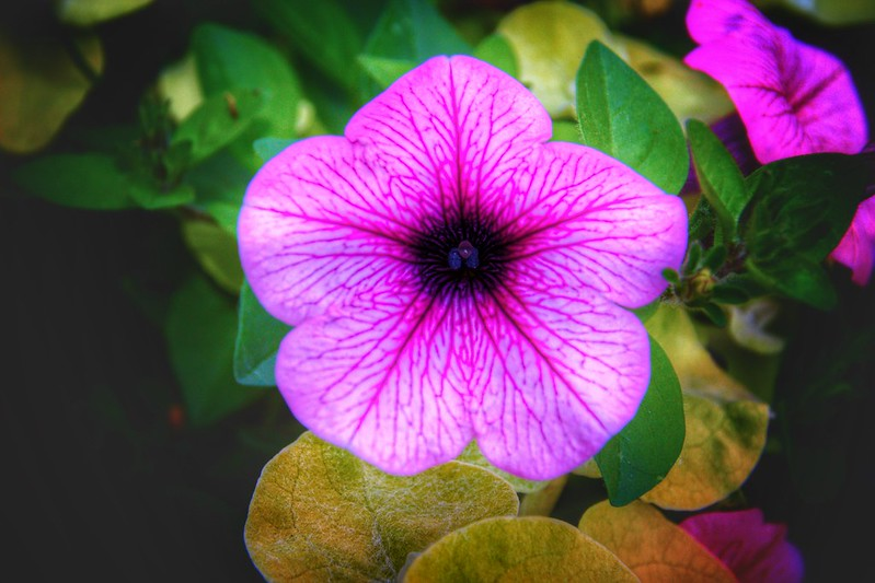 Stratford Ontario ~ Canada ~  Pink  Flower ~ Shakespearean  Garden Botanical  ~ Heritage
