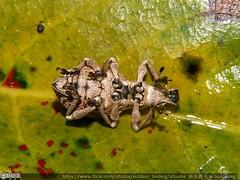 淡褐象鼻蟲#Dermatoxenus caesicollis