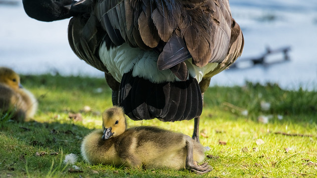 Goose and Gosling