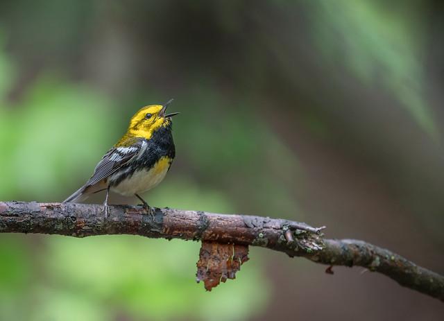 Vocal Black Throated Green Warbler