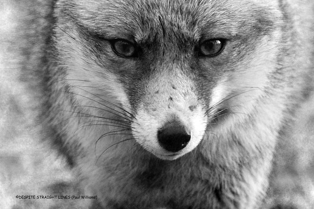 Eyes of the Vixen (Red fox Vulpes vulpes)  -  (Published by GETTY IMAGES)