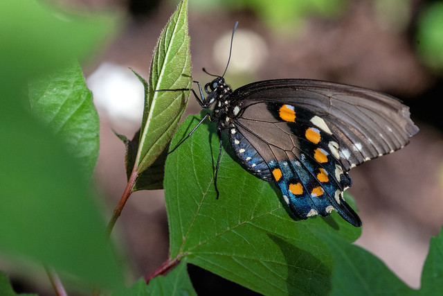 2018  Spicebush Swallowtail (Papilio troilus) 8
