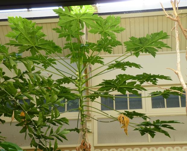 Carica papaya 49950801546_dfc13d88b3_o