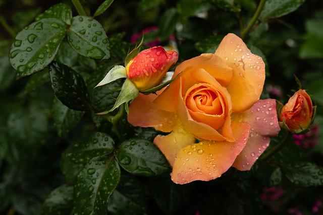 Garden Rose _ 3