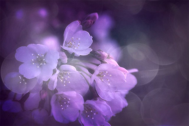 blossoms in soft light