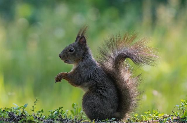 Európai mókus (Sciurus vulgaris)