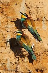 Merops apiaster | Guêpier d'Europe | European Bee-eater | Abejaruco Común | Bienenfresser