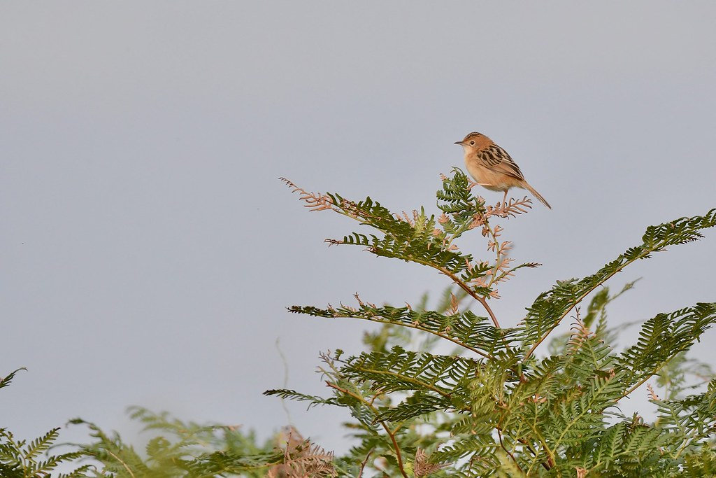 Golden -headed Cisticola