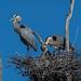 Great Blue Heron, Grand Héron, Garza Morena / Ardea Herodias
