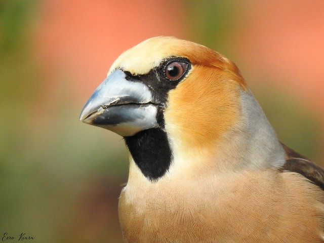 Hawfinch ♂ (Coccothraustes coccothraustes)