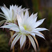 Flor efímera de cactus epifito