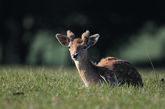 Fallow Pricket