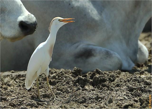 Bubulcus ibis reprise du travail...