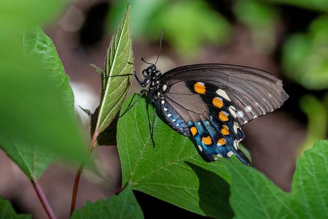 2018  Spicebush Swallowtail (Papilio troilus) 7