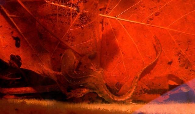 Salamander Turning Under Water