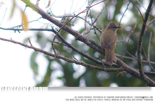644 Flavescent Bulbul, Pycnonotus flavescens