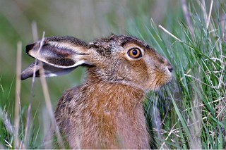 A hare at Elmley Nature Reserve