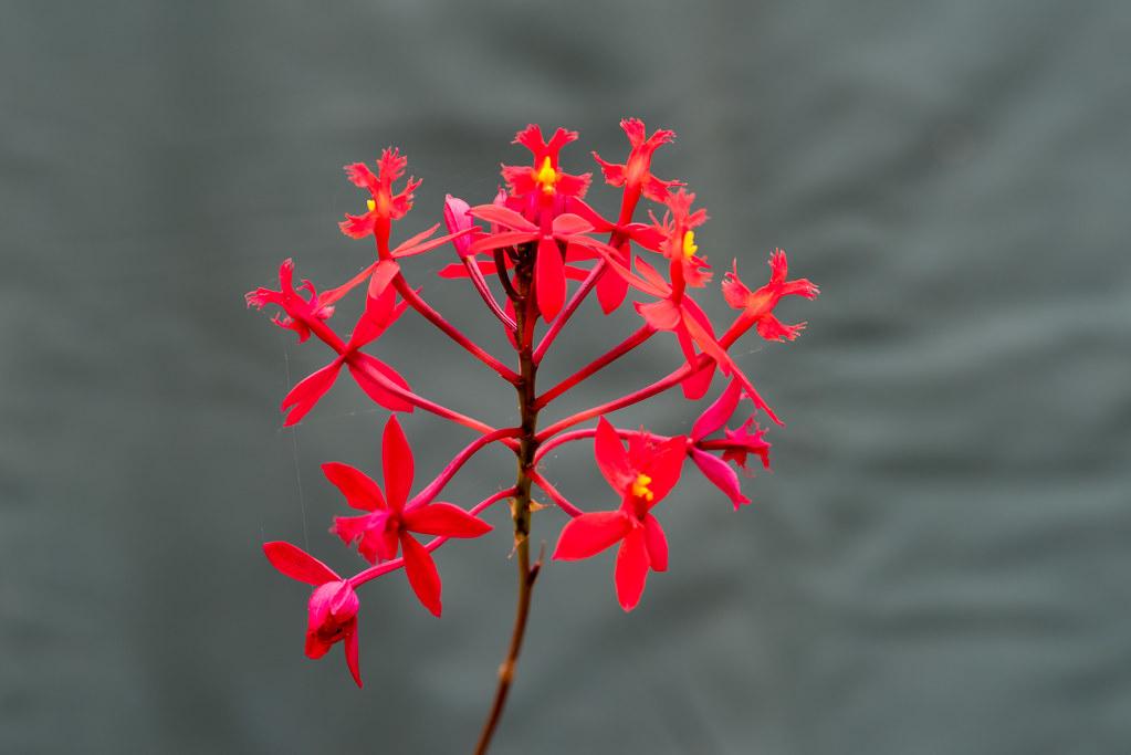 Cruciform Orchid