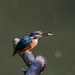 Kingfisher -202005290698.jpg