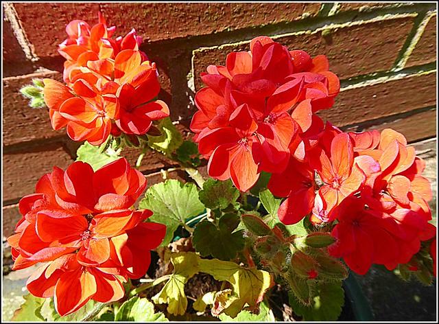 Red Geraniums ..