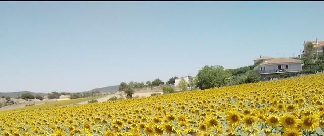 Girasoles d Cuenca