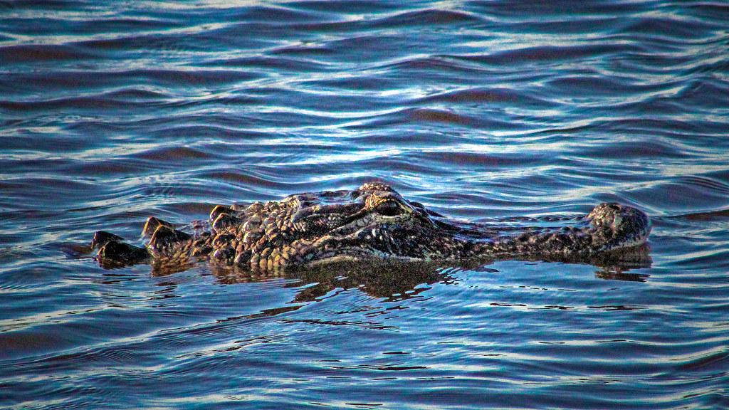 2020.05.23 La Chua Trail Alligator 4