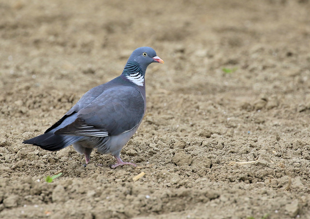 Pigeon ramier - Ressudens/Vaud/CH_20200425_003-1