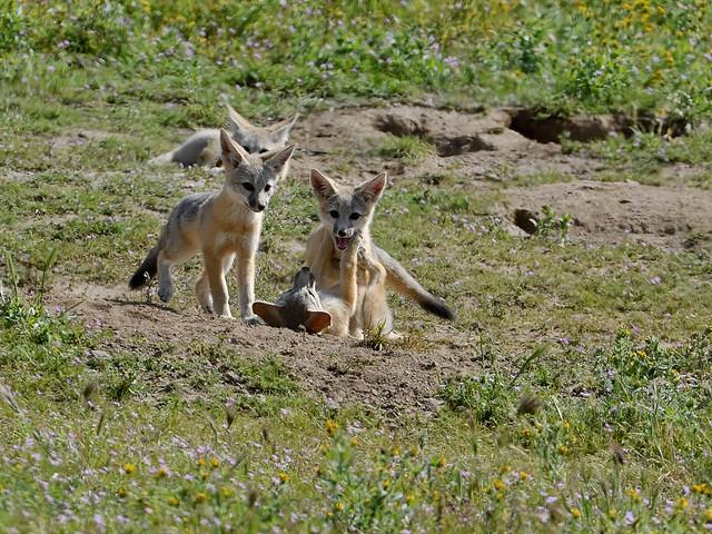 Kit fox kits