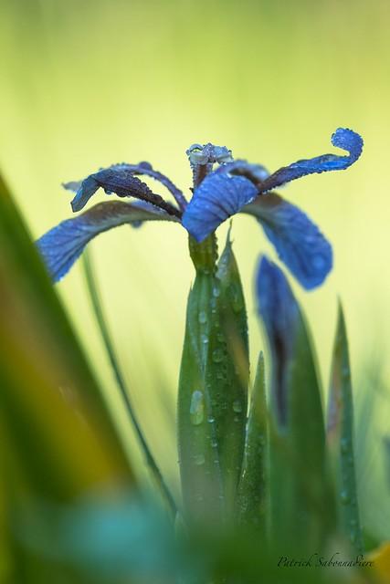 Iris Fétide-Iris foetidissima