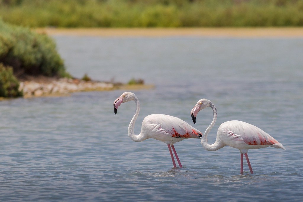 A close up photo of two pink flamingos walking through the water.