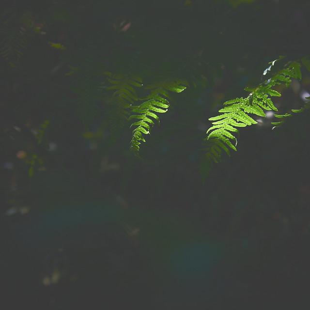 Ferns - Black Carr Woods