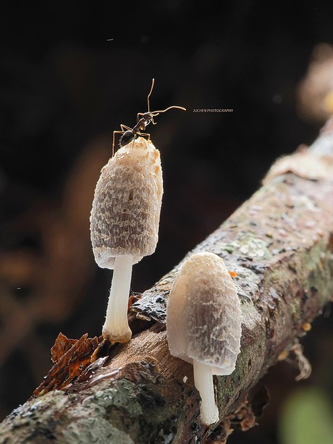 Ants on the fungus