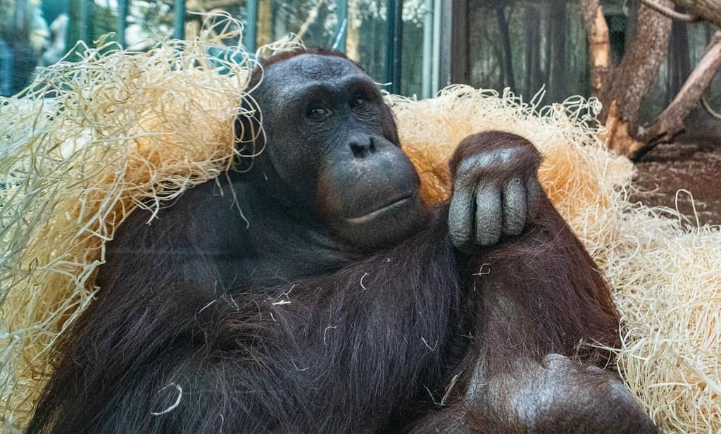 Orangutan_8