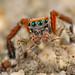 Rare Saitis barbipes jumping spider