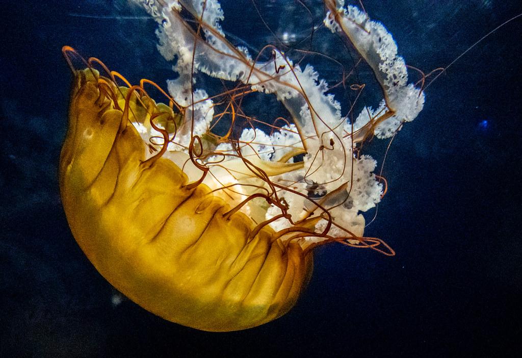 Sea Nettle_3