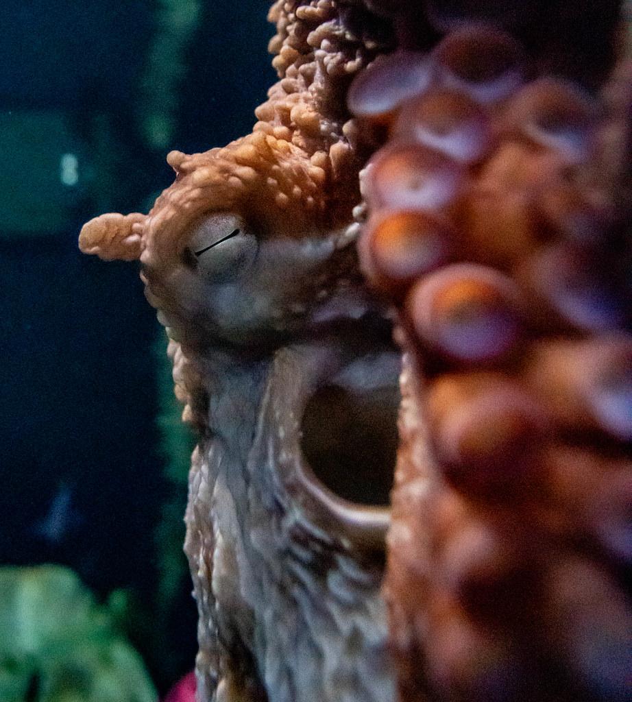 Pacific Octopus_17