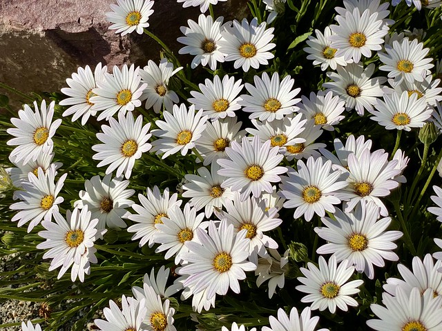 Daisies are like sunshine to the ground