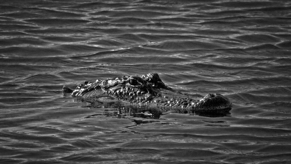 2020.05.23 La Chua Trail Alligator 5 BNW