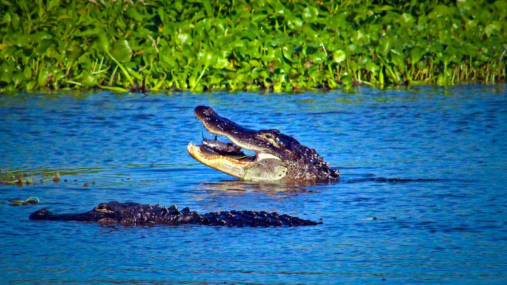 2020.05.23 La Chua Trail Alligator 3