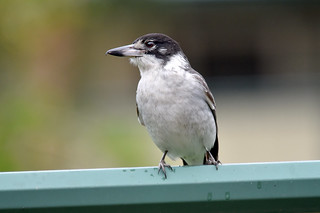 Grey Butcher-bird   It is the time of the year these birds ...