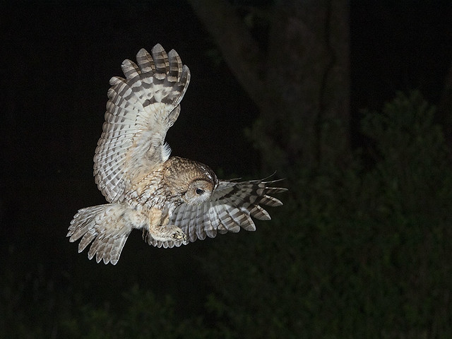 Tawny Owl swooping for prey.